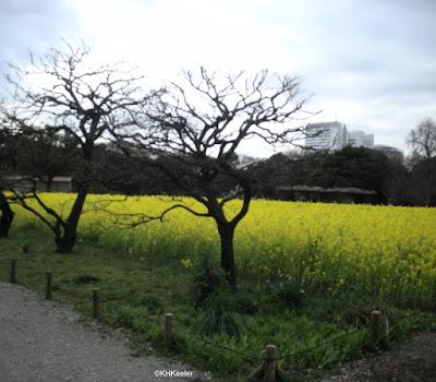 flowering mustards, Tokyo garden