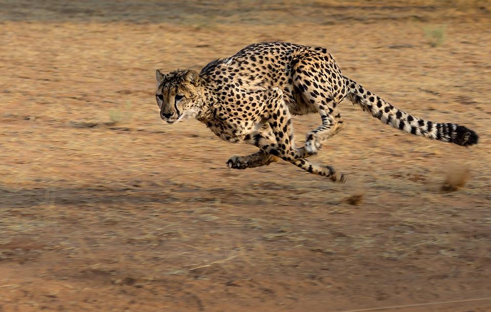 चीता के बारे में 16 रोचक तथ्य और जानकारी,Interesting facts and information about Cheetah in Hindi,Amazing Facts about Cheetah in Hindi,चीता के बारे में मजेदार बातें