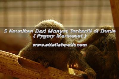 5 Keunikan Dari Monyet Terkecil di Dunia