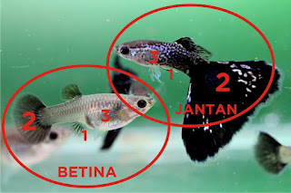 Jual Jantan Betina Guppy,  Harga Jantan Betina Guppy,  Toko Jantan Betina Guppy,  Diskon Jantan Betina Guppy,  Beli Jantan Betina Guppy,  Review Jantan Betina Guppy,  Promo Jantan Betina Guppy,  Spesifikasi Jantan Betina Guppy,  Jantan Betina Guppy Murah,  Jantan Betina Guppy Asli,  Jantan Betina Guppy Original,  Jantan Betina Guppy Jakarta,  Jenis Jantan Betina Guppy,  Budidaya Jantan Betina Guppy,  Peternak Jantan Betina Guppy,  Cara Merawat Jantan Betina Guppy,  Tips Merawat Jantan Betina Guppy,  Bagaimana cara merawat Jantan Betina Guppy,  Bagaimana mengobati Jantan Betina Guppy,  Ciri-Ciri Hamil Jantan Betina Guppy,  Kandang Jantan Betina Guppy,  Ternak Jantan Betina Guppy,  Makanan Jantan Betina Guppy,  guppy breeding Jantan Betina Guppy,  guppies for sale Jantan Betina Guppy,  guppy care Jantan Betina Guppy,  breeding guppiesJantan Betina Guppy,  male guppiesJantan Betina Guppy,  female guppiesJantan Betina Guppy,  guppy aquariumJantan Betina Guppy,  baby guppiesJantan Betina Guppy,  poecilia reticulataJantan Betina Guppy,  guppy tankJantan Betina Guppy,  guppy fryJantan Betina Guppy,  guppy giving birthJantan Betina Guppy,  how long do guppies liveJantan Betina Guppy,  guppysJantan Betina Guppy,  guppy guppyJantan Betina Guppy,  guppy foodJantan Betina Guppy,  guppy breeding tankJantan Betina Guppy,  fantail guppyJantan Betina Guppy,  guppy breedsJantan Betina Guppy,  guppy sJantan Betina Guppy,  wild guppiesJantan Betina Guppy,  guppy babiesJantan Betina Guppy,  guppy varietiesJantan Betina Guppy,  freshwater guppies Jantan Betina Guppy,  guppy female Jantan Betina Guppy,  tropical guppies Jantan Betina Guppy,  female guppies for saleJantan Betina Guppy,  guppy priceJantan Betina Guppy,  raising guppiesJantan Betina Guppy,  guppies for sale onlineJantan Betina Guppy,  guppy infoJantan Betina Guppy,  buy guppies onlineJantan Betina Guppy,  guppy saleJantan Betina Guppy,  buy guppiesJantan Betina Guppy,  guppy diseasesJantan Betina Guppy,  guppies onlineJantan Betina Guppy,  caring for guppiesJantan Betina Guppy,  best food for guppiesJantan Betina Guppy,  food for guppiesJantan Betina Guppy,  blue guppyJantan Betina Guppy,  guppy breeding setupJantan Betina Guppy,  guppy birthJantan Betina Guppy,  guppy speciesJantan Betina Guppy,  gestation period for guppiesJantan Betina Guppy,  guppys onlineJantan Betina Guppy,  guppy care sheetJantan Betina Guppy,  guppy blue  Jakarta,  keeping guppies  Bandung,  guppies for sale cheap  Medan,  the guppy  Bali,  guppy breeding cycle  Makassar,  show guppies  Jambi,  thai guppy  Pekanbaru,  male and female guppies  Palembang,  what to feed baby guppies  Sumatera,  yellow guppy  Langsa,  guppy names  Lhokseumawe,  guppy gestation period  Meulaboh,  feeding guppies  Sabang,  guppy genetics  Subulussalam,  guppy show  Denpasar,  turquoise guppy  Pangkalpinang,  guppy fry care  Cilegon,  guppy games  Serang,  guppy gestation  Tangerang Selatan,  guppy colors  Tangerang,  guppy tank setup  Bengkulu,  trinidadian guppies  Gorontalo,  guppies having babies  Kota Administrasi Jakarta Barat,  guppy strains  Kota Administrasi Jakarta Pusat,  what do guppies eat  Kota Administrasi Jakarta Selatan,  what to feed guppies  Kota Administrasi Jakarta Timur,  guppy life span  Kota Administrasi Jakarta Utara,  how to care for guppies  Sungai Penuh,  guppy male and female  Jambi,  what is a guppy  Bandung,  guppy natural habitat  Bekasi,  german guppy  Bogor,  guppy poecilia reticulata  Cimahi,  guppy images  Cirebon,  images of guppies  Depok,  fishguppy  Sukabumi,  guppy facts  Tasikmalaya,  how many babies do guppies have  Banjar,  how big do guppies get  Magelang,  how to take care of guppies  Pekalongan,  fan tailed guppies  Purwokerto,  guppy pregnant  Salatiga,  guppy life cycle  Semarang,  temperature for guppies  Surakarta,  what are guppies  Tegal,  guppies restaurant  Batu,  guppy definition  Blitar,  guppy meaning  Kediri,  guppy size  Madiun,  define guppy  Malang,  guppy wiki  Mojokerto,  how do guppies give birth  Pasuruan,  baby guppys  Probolinggo,  guppies bar  Surabaya,  how many fry do guppies have  Pontianak,  guppy behavior  Singkawang,  how many babies does a guppy have  Banjarbaru,  where do guppies come from  Banjarmasin,  how do guppies reproduce  Palangkaraya,  what does guppy mean  Balikpapan,  what is guppy  Bontang,  types of guppy  Samarinda,  guppy guppies  Tarakan,  guppy house hours  Batam,  guppys on the go  Tanjungpinang,  guppys restaurant  Bandar Lampung,  guppies definition  Kotabumi,  do guppies eat their babies  Liwa,  gestation guppy  Metro,  bubble guppies  Ternate,  guppy  Tidore Kepulauan,  Jantan Betina Guppy  Ambon,  Jantan Betina Guppy  Tual,  Jantan Betina Guppy  Bima,  Jantan Betina Guppy  Mataram,  Jantan Betina Guppy  Kupang,  Jantan Betina Guppy  Sorong,  Jantan Betina Guppy  Jayapura,  Jantan Betina Guppy  Dumai,  Jantan Betina Guppy  Pekanbaru,  Jantan Betina Guppy  Makassar,  Jantan Betina Guppy  Palopo,  Jantan Betina Guppy  Parepare,  Jantan Betina Guppy  Palu,  Jantan Betina Guppy  Bau-Bau,  Jantan Betina Guppy  Kendari,  Jantan Betina Guppy  Bitung,  Jantan Betina Guppy  Kotamobagu,  Jantan Betina Guppy  Manado,  Jantan Betina Guppy  Tomohon,  Jantan Betina Guppy  Bukittinggi,  Jantan Betina Guppy  Padang,  Jantan Betina Guppy  Padangpanjang,  Jantan Betina Guppy  Pariaman,  Jantan Betina Guppy  Payakumbuh,  Jantan Betina Guppy  Sawahlunto,  Jantan Betina Guppy  Solok,  Jantan Betina Guppy  Lubuklinggau,  Jantan Betina Guppy  Pagaralam,  Jantan Betina Guppy  Palembang,  Jantan Betina Guppy  Prabumulih,  Jantan Betina Guppy  Binjai,  Jantan Betina Guppy  Medan,  Jantan Betina Guppy  Padang Sidempuan,  Jantan Betina Guppy  Pematangsiantar,  Jantan Betina Guppy  Sibolga,  Jantan Betina Guppy  Tanjungbalai,  Jantan Betina Guppy  Tebingtinggi,  Jantan Betina Guppy  Yogyakarta,