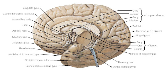 ANATOMY OF THE MEDIAL (MIDSAGITTAL) SURFACE OF THE BRAIN, WITH BRAIN STEM REMOVED