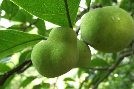 Quả Cây Chay - Artocarpus tonkinensis - Nguyên liệu làm thuốc Chữa Tê Thấp và Đau Nhức