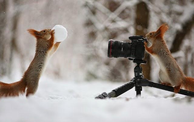 شاهدوا بالصور كيف تتصرف السناجب على الثلج! سنا%D