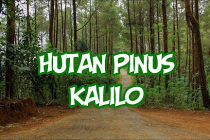 Indahnya Pesona Hutan Pinus Kalilo