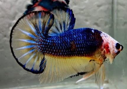 http://ikancupangqu.blogspot.co.id/