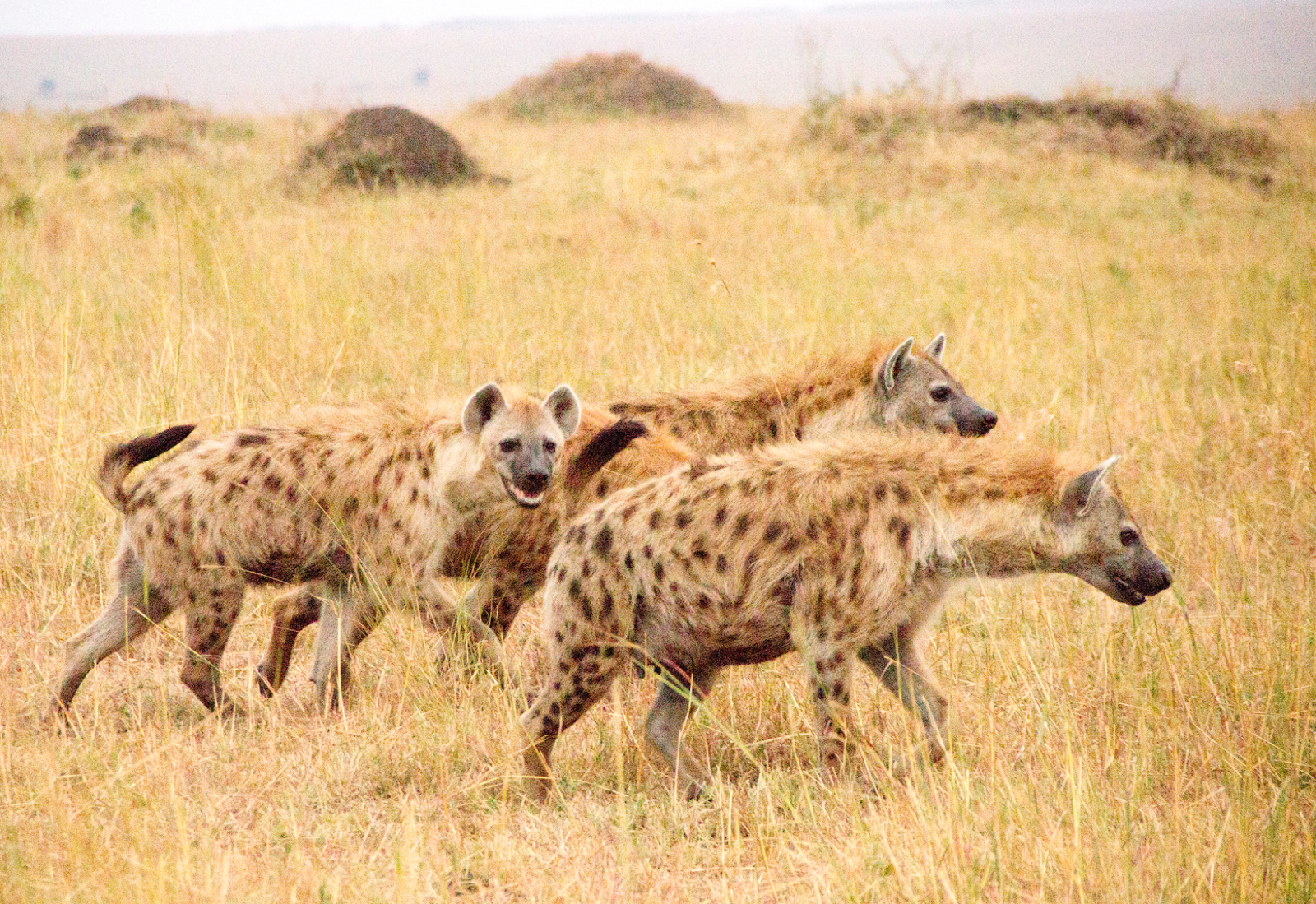 Notes From Kenya: MSU Hyena Research: Self-control matters in ...