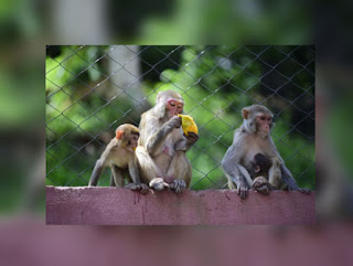 Himachal to hold race to Rescue and Rehabilitat marauding monkeys