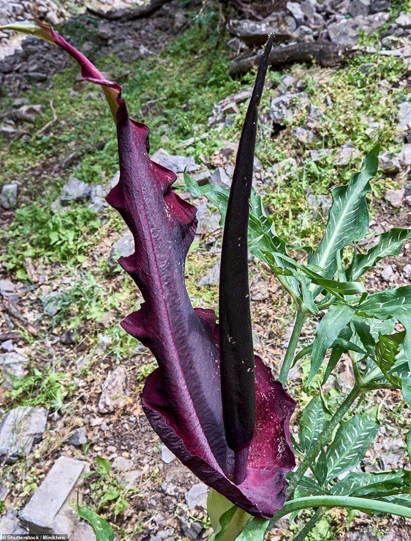 Dracunculus vulgaris (lirio vudú)