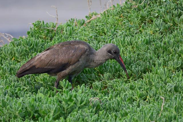 Bostrychia hagedash - Ibis hagedash