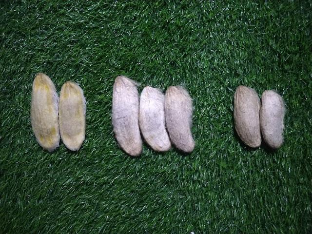 three varity of mango seeds for plantation
