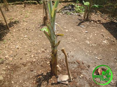 Penimbunan kembali dan pemadatan pada tanaman pisang