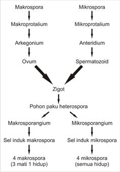 Siklus hidup paku heterospora
