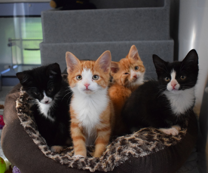 two black and white and two ginger and white kittens sitting in a cat bed