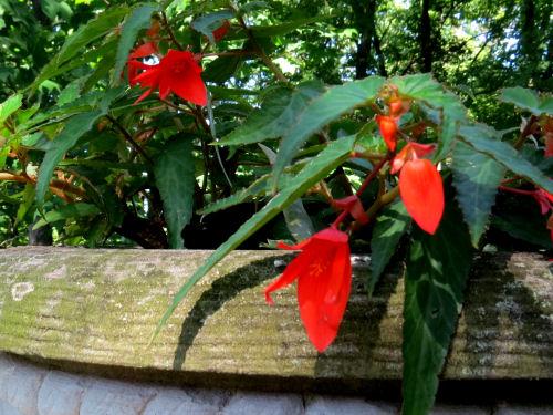 firewings begonia