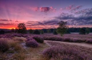 Foto Bunga Lavender Ungu yang Indah 10