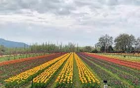 Asia's largest tulip garden opens, learn everything