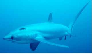 Bigeye Thresher Shark