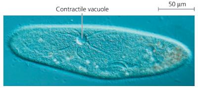 Vakuola kontraktil paramecium, fungsi Vakuola kontraktil