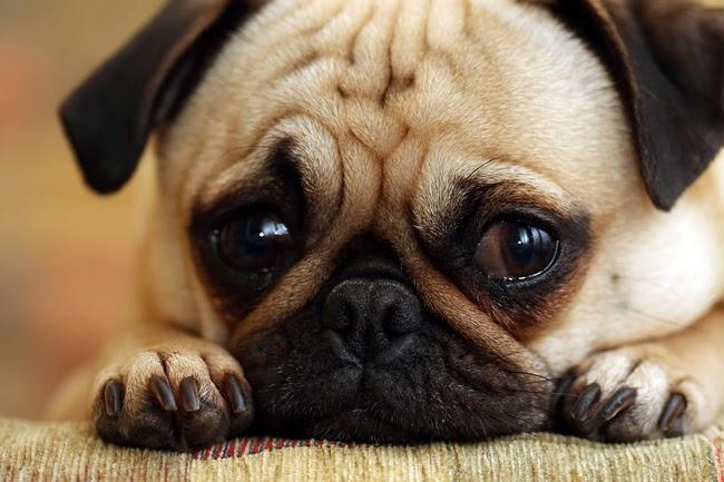 Psy rasy Mops