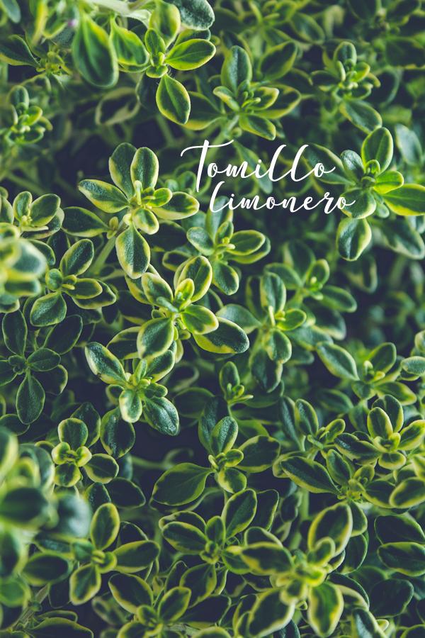 tomillo-limon-limonero