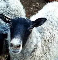 Gotland Sheep Characteristics, Weight, Wool & Meat Quality, Care