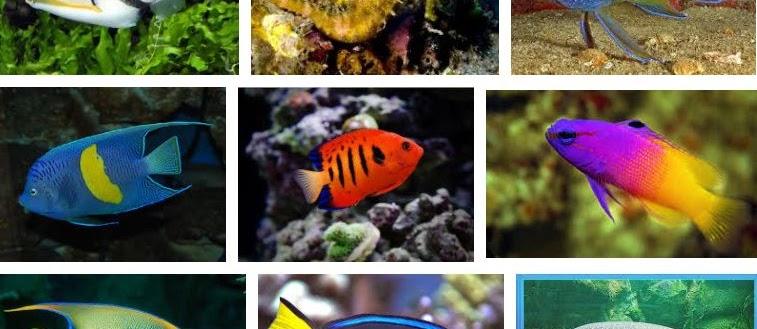 200 Nama Ikan Hias Air Laut dan Gambarnya yang Cantik untuk Akuarium