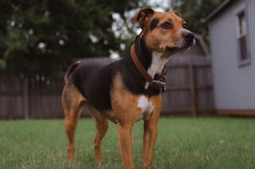 ciri-ciri anjing