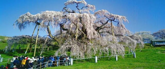 شجرة فى اليابان تثمر وهى عمرها 1000 عاما ELSAHEFA-31651-4.jpg