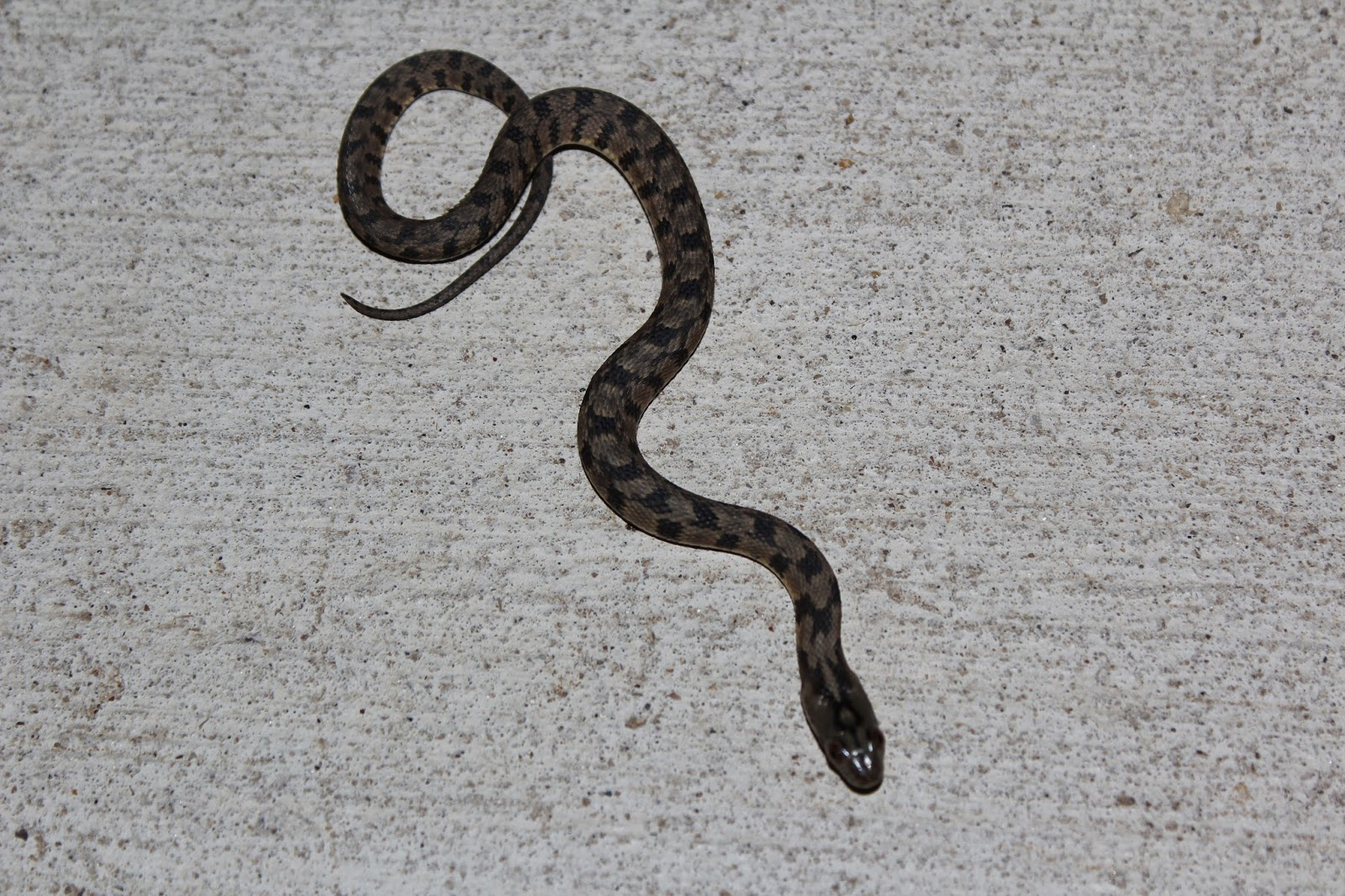 Alabama black snake 3 - 5 1