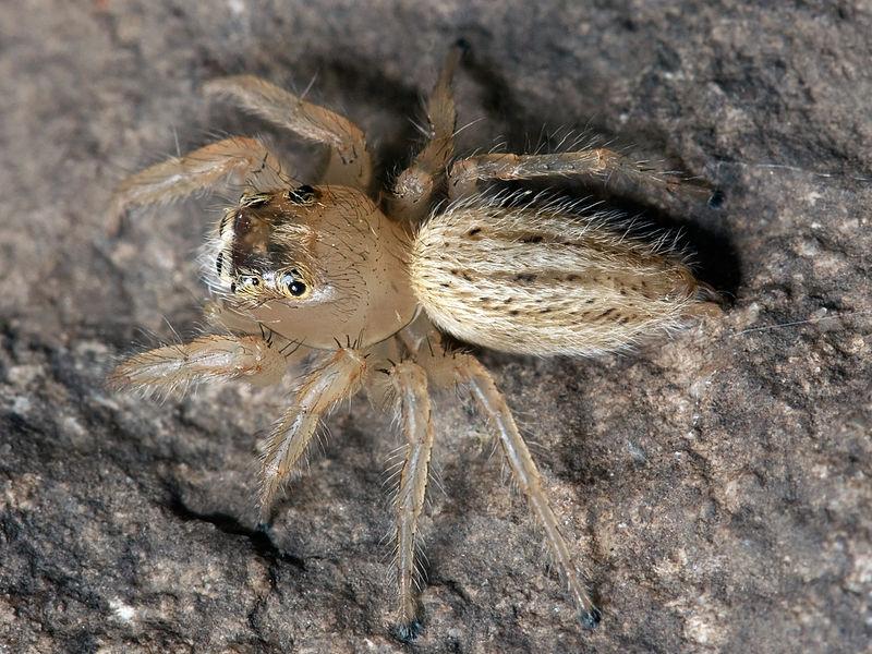 Arachnids: Thiodina puerpera female