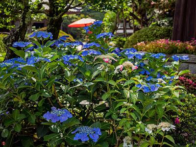 Ajisai (Hydrangea) flowers: Kaizo-ji