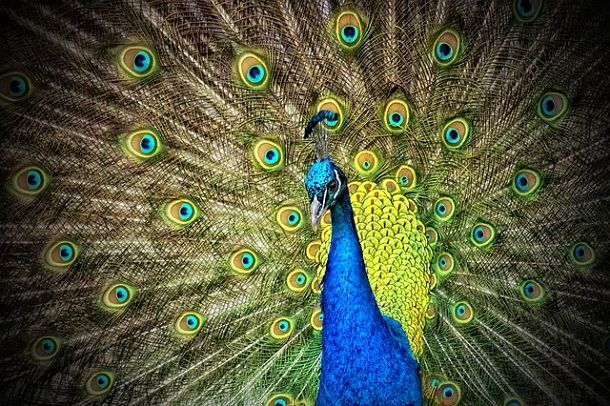 information-about-peacock-in-hindi