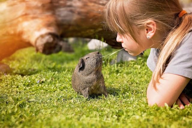 Prachtige zomer foto met mens en dier, een cavia op de foto met een meisje buiten op het gras