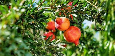 Manfaat buah delima untuk ibu hamil
