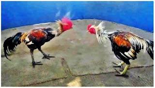 Ciri Ayam Birma