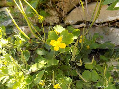 Μάιος-Χελιδόνιο: Βότανα και φαρμακευτικά φυτά της Ελλάδας
