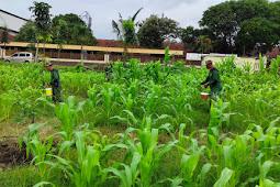 Bertaninya Para Babinsa Koramil 08 Ngawen dalam Pemupukan Tanaman Jagung.