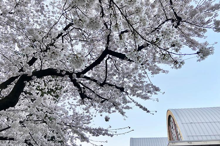 A Novara è fiorito il ciliegio di Giacomo Fauser