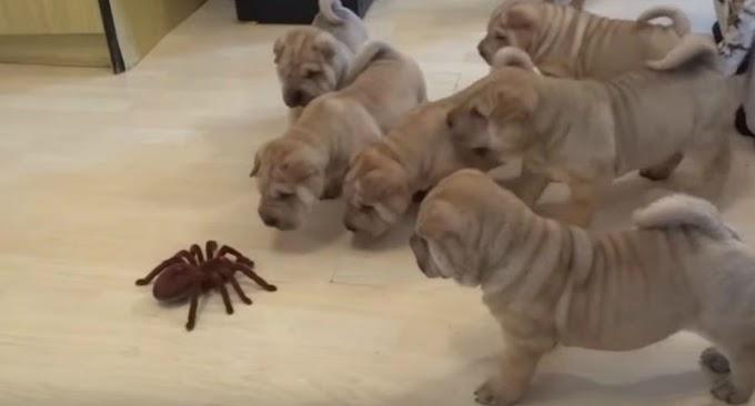 Cachorros miran a una tarántula y se hace viral