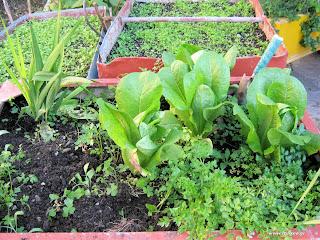 Λαχανικά σε γλάστρες