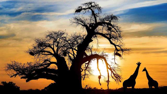 Nếu đến với Botswana vào mùa khô, vườn quốc gia Chobe sẽ khiến cho bạn thật sự phấn khích. Khu vườn nằm ở phía Bắc Botswana là nơi hợp lưu của dòng Linyanti và dòng sông Chobe. Đây là nơi tụ họp của loài voi và trâu nước. Bên cạnh đó, vùng đất Nxai Pan cũng rất thú vì vì có rất nhiều thảm cỏ xanh ngắt xen lẫn các bụi cỏ acacia khiến cho những loài hươu cao cổ rất thích sinh sống.