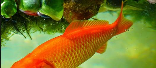 Cara Terbaik dan Berlian Budidaya Ikan Mas