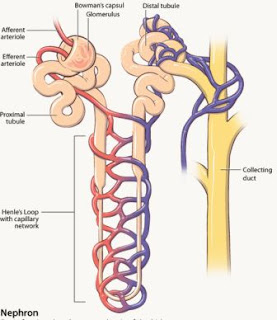 Struktur dari bagian nefron pada ginjal