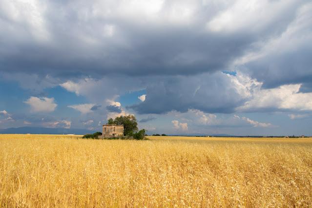 Campo di grano a Valensole-Provenza