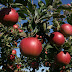 Cara Pengendalian Hama dan Penyakit Tanaman Apel