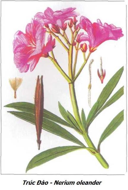 Cây Trúc Đào - Nerium oleander - Nguyên liệu làm thuốc Chữa bệnh Tim
