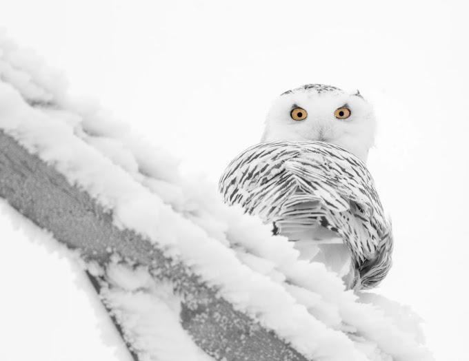 Snowy Owl Bird: Snowyowlbird | Barn owl