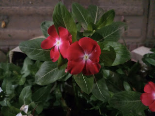 Red colored Madagascar Periwinkle