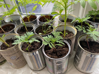 Marigolds planted in tin cans