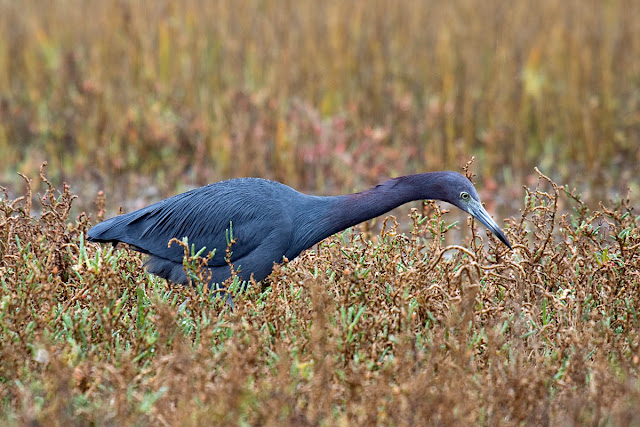 Little Blue Heron hunting posture